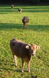 Kuehe / Cows (8479)