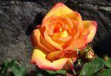Rose (08618)