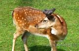 Reh / Deer (3390)