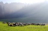 Schafe / Sheep (9506)