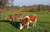 Kuehe / Cows (1198)