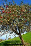 Apfelbaum (60915)