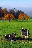 Kuehe / Cows (61385)