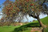 Apfelbaum (60913)