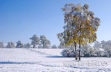 Birken / Birch Trees (8787)