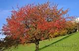 Baum im Herbst (7148)