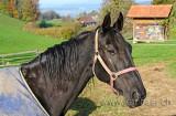 Pferd / Horse (60855)