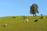 Kuehe / Cows (60029)