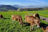 Kuehe / Cows (73574)