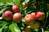 Aepfel / Apples (76865)