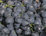 Blue grapes.jpg