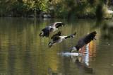 IMGP9397 geese large e.jpg