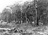 1920 - Mangrove Forest Destruction on Miami Beach