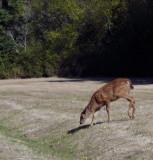 Young Deer- Fort Casey