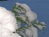 Snow clad conifer