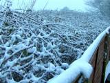 Snowy brambles