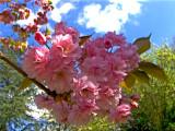 A FLOWERING CHERRY TREE BLOSSOM    1784