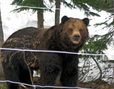 A GRIZZLY BEAR REFUGE    1018
