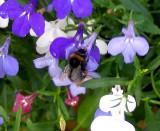 BUMBLE BEE ON LOBELIA