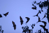 Flying foxes.jpg