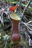 Nephentis reinwardtiana.jpg