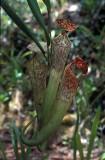 Nephentis stenophylla.jpg