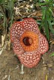 Rafflesia Curleyii