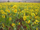 Canola flowers.JPG