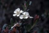 Leptospermum-recurvum