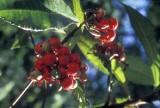 Smilax-in-fruit