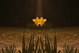 night daffodil mirror
