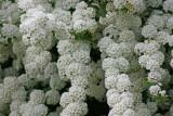white puffs