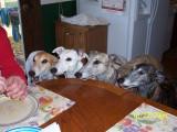 Lori's greyhounds