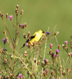 goldfinch feeding in spotted knapweed