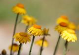 yellow strawflowers