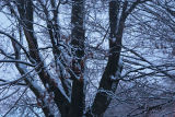 maple in the gloaming