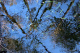 bald cypress branches reflected