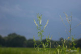 sweet clover just before the storm