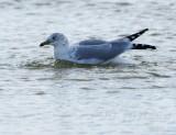 gull in mid bath