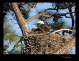eagles on the nest