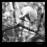 preening ibis