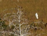 snowy egret in bald cypress tree