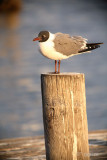 laughing gull on a piling