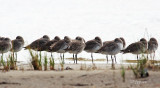 for bill in scotland, a bigger view of willets in a row
