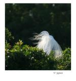 veiled great egret