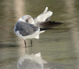 gull preening