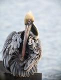 preening brown pelican
