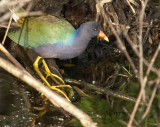 purple gallinule number two