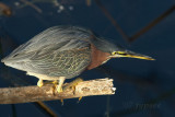 green heron in hunting attitude
