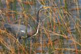 tricolor heron hunting in reeds